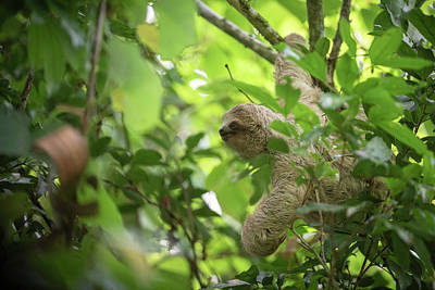 Photograph - Three-toed sloth baby looking for food by Rodrigo Santamaria