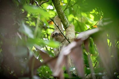 Photograph - Three-toed sloth baby by Rodrigo Santamaria