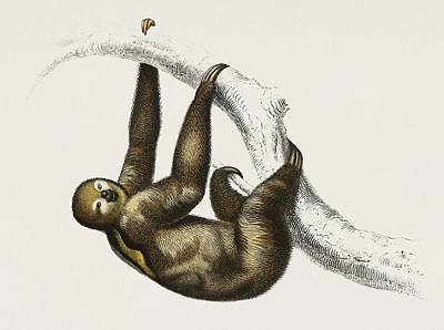 Painting - Three-toed Sloth  Bradypus Ustus  Illustrated By Charles Dessalines D Orbigny  1806 1876  by Celestial Images