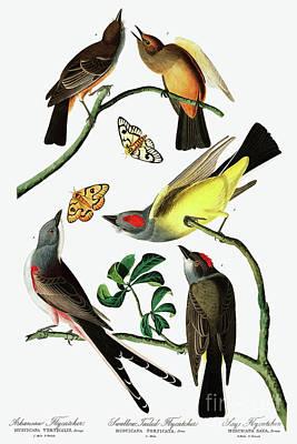 Painting - Three Varieties Of Flycatcher From Audubon by John James Audubon
