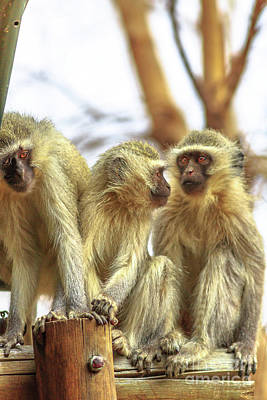 Photograph - Three Vervet Monkey by Benny Marty