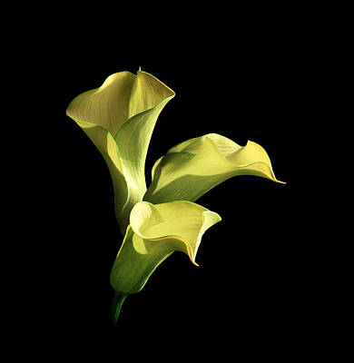 Photograph - Three Yellow Calla Lilies by Diane Miller