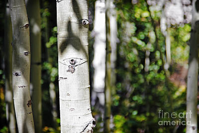 Photograph - Through The Aspen Forest by Lincoln Rogers