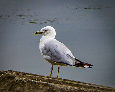 Photograph - Tide Lock Gull by Lora J Wilson