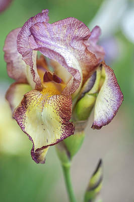 Photograph - Tiffany. The Beauty Of Irises by Jenny Rainbow