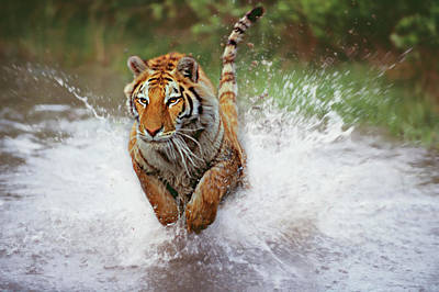 Photograph - Tiger Charging Thru The Shallow Water by Gary Vestal