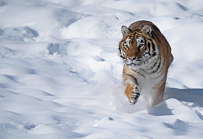 Abstract Airplane Art Rights Managed Images - Tiger in snow Royalty-Free Image by Jack Nevitt