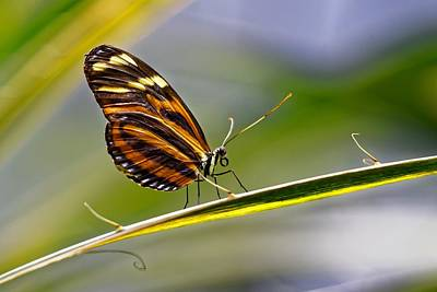 Photograph - Tiger Longwing On Long Leaf by KJ Swan