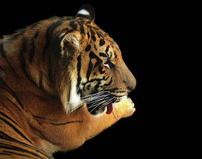 Photograph - Tiger On Black by Alison Frank