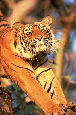 Photograph - Tiger Panthera Tigris Tigrisstretching by Art Wolfe