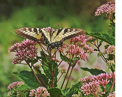 Photograph - Tiger Swallowtail 2 by Janis Nussbaum Senungetuk