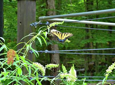 Photograph - Tiger Swallowtail Butterfly by Lisa Wooten