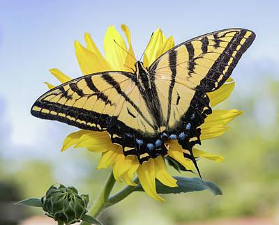 Photograph - Tiger Swallowtail by Kent Keller
