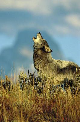 Photograph - Timber Wolf Canis Lupus, Adult Howling by Tom Vezo/ Minden Pictures
