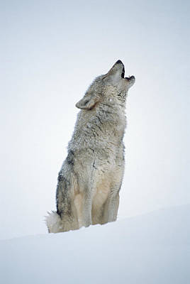 Photograph - Timber Wolf Canis Lupus, Portrait by Tim Fitzharris/ Minden Pictures