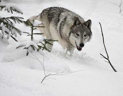 Photograph - Timber Wolf by Jeffrey PERKINS