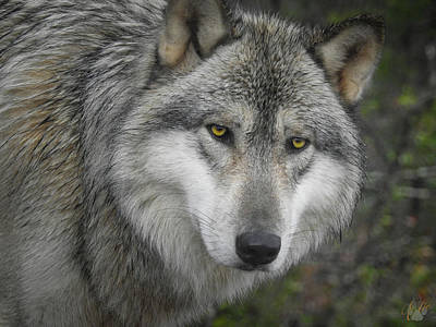 Photograph - Timberwolf by Elie Wolf