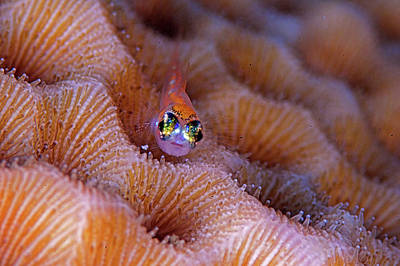 Photograph - Tiny Gobi On Hard Coral by Rand Mcmeins
