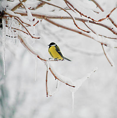 Birds In Snow Wall Art - Photograph - Tit On Branch by Julia Davila-lampe