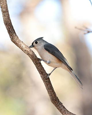 Photograph - Titmouse 4161 by John Moyer