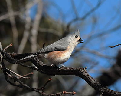Photograph - Titmouse 4411 by John Moyer
