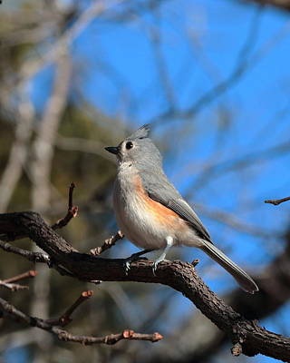 Photograph - Titmouse 4413 by John Moyer