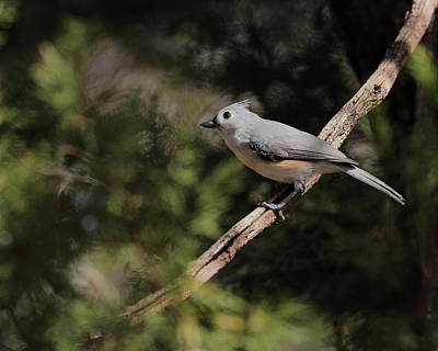 Photograph - Titmouse 6588 by John Moyer