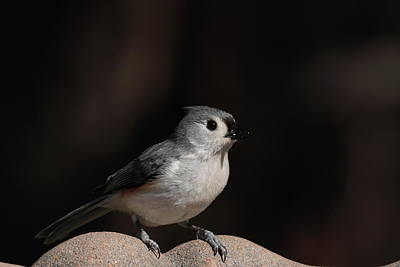 Photograph - Titmouse 6650 by John Moyer