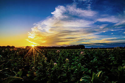 Photograph - Tobacco Flowers At Sunrise by John Harding