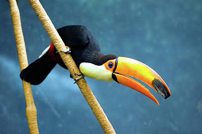 Ken Ilio Photograph - Toco Toucan by By Ken Ilio