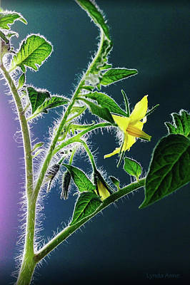 Photograph - Tomato Bloom by Lynda Anne Williams