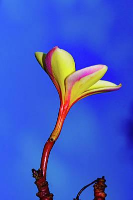 Photograph - Top Plumeria Flower by John Bauer