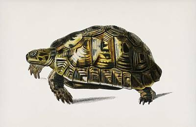 Painting - Tortoises  Testudo  Illustrated By Charles Dessalines D Orbigny  1806 1876  by Celestial Images