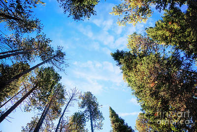 Art Print featuring the photograph Towering Pines by Scott Kemper
