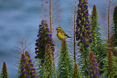 Photograph - Townsend's Warbler - 2 by Christy Pooschke