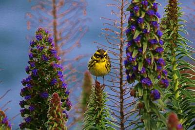 Photograph - Townsend's Warbler - 5 by Christy Pooschke