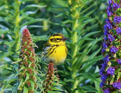 Photograph - Townsend's Warbler  by Christy Pooschke