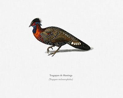 Painting - Tragopan De Hastings Illustrated By Charles Dessalines D Orbigny  1806-1876  2 by Celestial Images