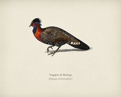 Painting - Tragopan De Hastings Illustrated By Charles Dessalines D Orbigny  1806 1876   by Celestial Images