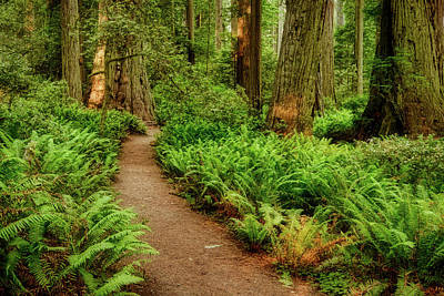 Photograph - Trail Through The Redwoods And Ferns by Stuart Litoff