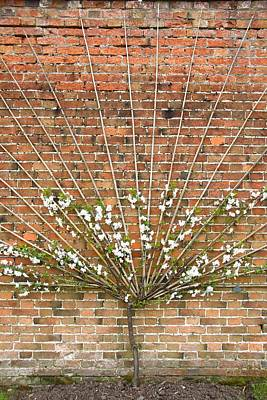 Plant Photograph - Trained Apple Tree by Martb