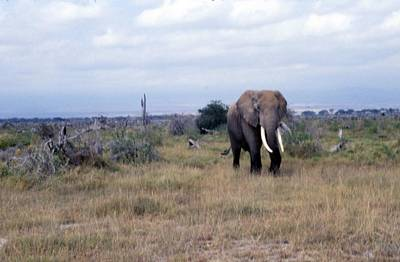 Painting - Travel, African Safari 1983, Africa, Wildlife, Elephant 3 by Celestial Images