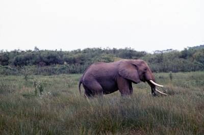 Painting - Travel, African Safari 1983, Africa, Wildlife, Elephant 5 by Celestial Images