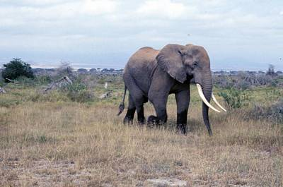 Painting - Travel, African Safari 1983, Africa, Wildlife, Elephant by Celestial Images