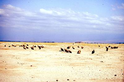 Painting - Travel, African Safari 1983, Africa, Wildlife, Vultures by Celestial Images