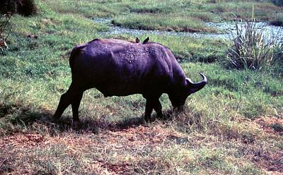 Painting - Travel, African Safari 1983, Africa, Wildlife, Water Buffalo by Celestial Images