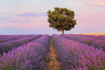 Photograph - Tree In  Lavender Field by Cornelia Doerr