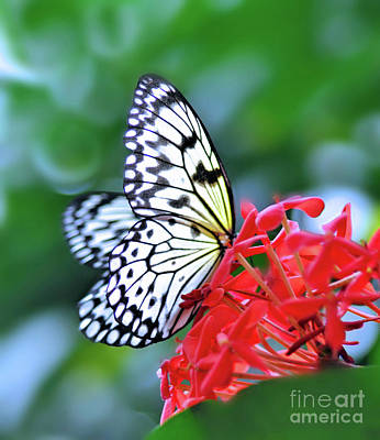 Photograph - Tree Nymph Butterfly by Elaine Manley