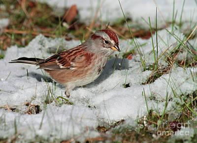 Tree Sparrow In Snow Art Print