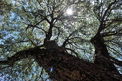 Photograph - Tree The Light With Lens Flare by Matt Harang